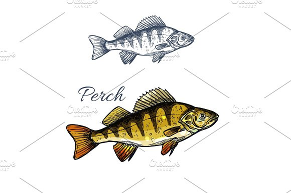 Perch Fish Isolated Sketch Of Freshwater Predator