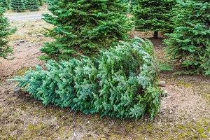 Cut Christmas tree at the tree farm