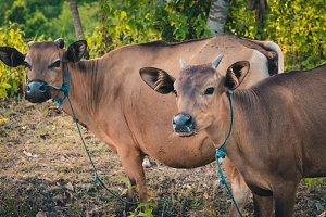 Balinese domestic cattle, Nusa Penida, Bali, Indonesia