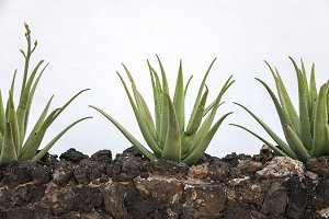 planting of aloe vera