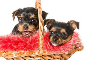 Two cute Yorkshire Terrier puppy