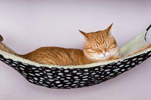 Happy ginger cat in hammock