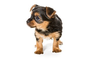Little Yorkshire Terrier puppy,