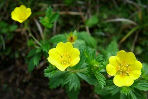 English cinquefoil