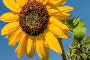 Yellow sunflower with petals