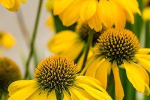 Yellow echinacea flowers