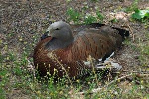 Ashy Headed Goose