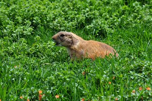 Barking Prairie Dog