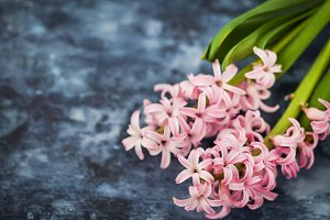 Pink beautiful hyacinth flower