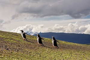 Three Papua penguin couple walking on hill