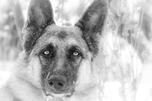 Black & White German Shepherd