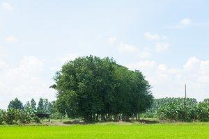 Big tree in the field