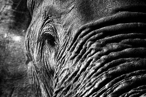Elephant close up at low resolution