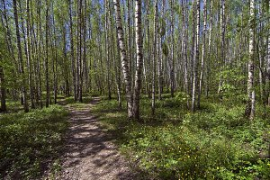 The path in the spring woods.