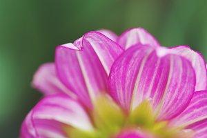 Pink Dahlia petals