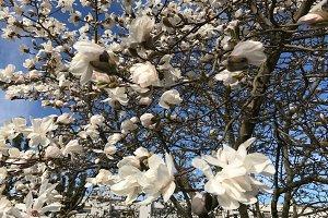 Magnolia tree in blossom