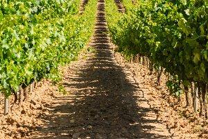 Burgos vineyard