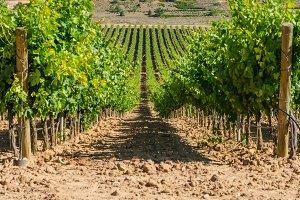 Spain. Vineyard in Burgos