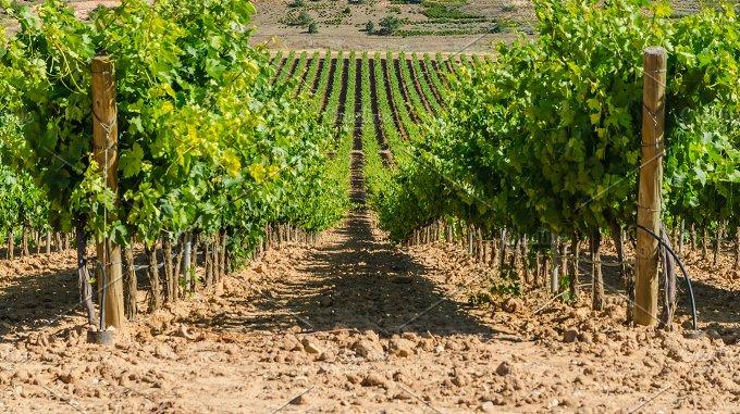 Spain. Vineyard in Burgos - Food & Drink