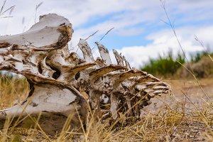 Vertebrate bones