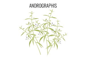 Andrographis flowering plant isolated on white background.