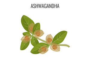 Ashwagandha ayurvedic herb isolated on white. Withania somnifera