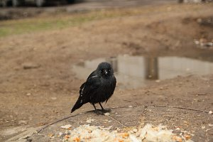 Homeless rook at street - ecology in city
