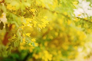 Green branch of caragana tree with yellow flowers
