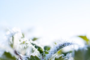 Hoar Frost covered plant