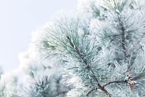 Hoar Frost Covered Evergreen Tree