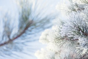 Frosty Pine Tree Blue Sky