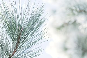 Frosty Pine tree & snowy background