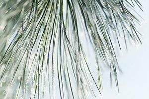 Pine needles & Hoar Frost