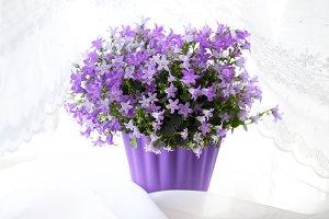 Pretty Campanula Flowers