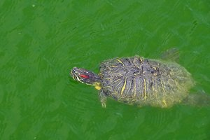 Swimming Slider Turtle