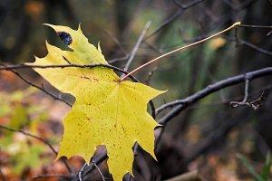 Symbol Of Autumn.