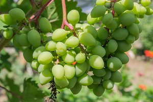 Immature bunch of grapes in the garden close up