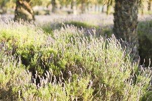 Lavender plants in the park