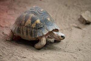 Tortoise Taking a Stroll