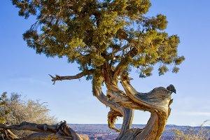 Vertical - Solitary Cedar Tree
