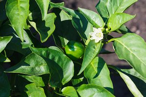 Unripe green pepper on the bush in the garden