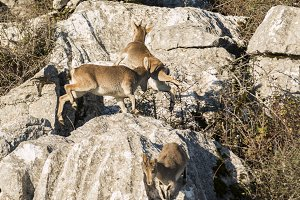 Ibex goats jumping over rocks