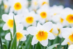 yellow and  white Narcissus
