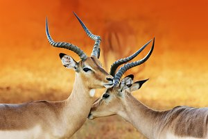 Male impala affection