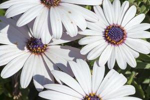 Macro photograph of a white daisy