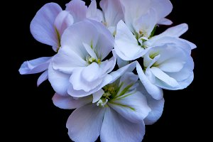 Macro photography of a geranium