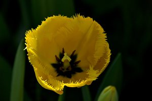 yellow tulip in the garden