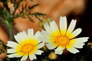 wild daisies in the garden