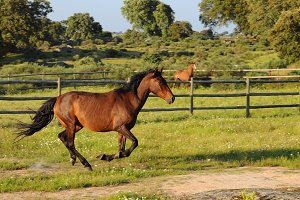 Brown horse running in a green field