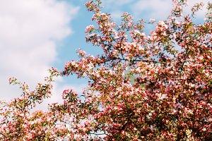 Blooming Sakura on the sky background
